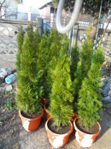 Plante ornamentale de gradina Thuja smaragd de la Amenajaregradina.eu