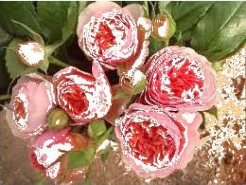 Butasi de trandafiri Piano, Chippendale, Shone Maid